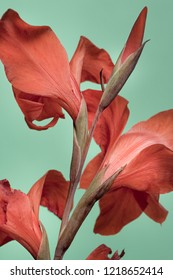red flowers on the stem, gladiolus on a turquoise background.