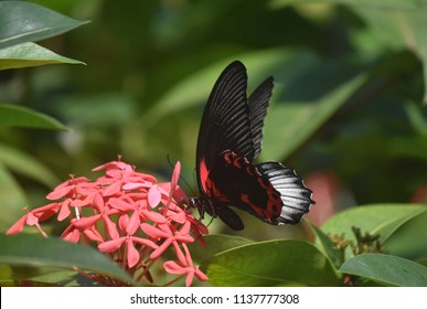 Red flowers with a scarlet mormon butterfly in a garden.