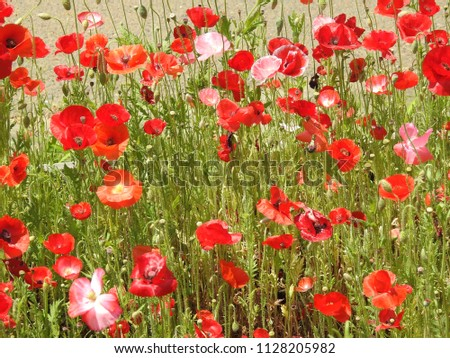 Red Flowers Scenery Stock Photo Edit Now 1128205982 Shutterstock