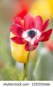Red flowers in spring - Garden - poppy anemone [Anemone coronaria]