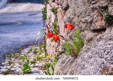 red flowers in the stones and rock, Portugal