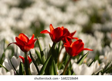 Red flowers and white fowers in spring