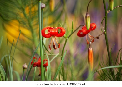 Red flowers of wild Siberian small lilies, Lilium pumilum, with curled flowerleaves and big pistils is seen brightly among other plants