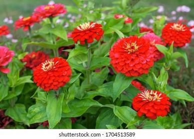 Red flowers of Zinnia elegans, common zinnia or elegant zinnia in the formal garden