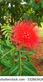 Red fluffy bush willow flower with vivid green leaves