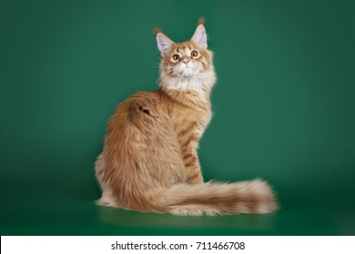 Red fluffy cat Maine Coon sitting on a green Studio background.