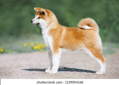 Red fluffy puppy of breed Akita Inu in an exterior rack. Dog articles