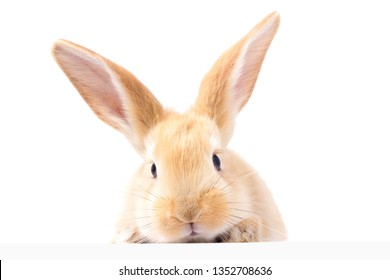 Red fluffy rabbit looks at the sign. Isolated on white background. Easter Bunny. red rabbit for advertising