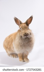 red fluffy rabbit on a white background shows tongue and looks at the camera