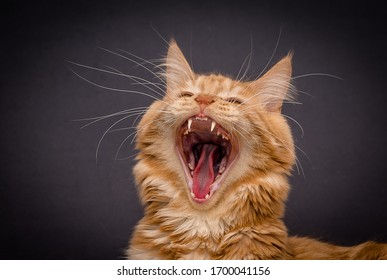 red fluffy striped young cat with wide open mouth screaming yawning shows sharp teeth and a red tongue