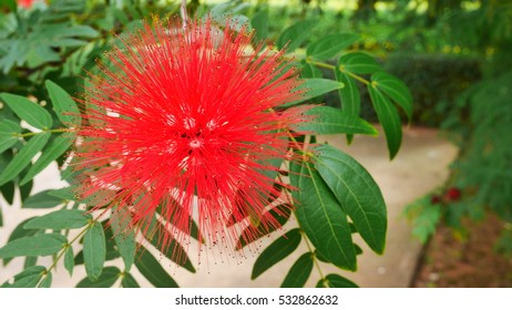 Red fluffy tropical beautiful bush willow flower with vivid green leaves