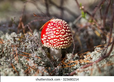 Red fly agaric in the forest among pine needles and white moss