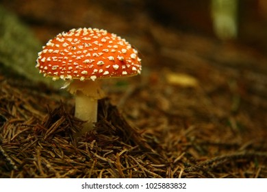 Red fly agaric mushroom in forest in needles