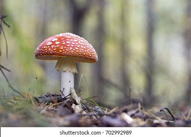 Red fly agaric mushroom or toadstool in the grass.  Latin name is Amanita muscaria. Toxic mushroom