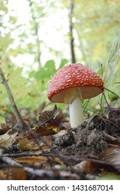 Red fly agarics poisonous mushrooms are also dangerous to the person.