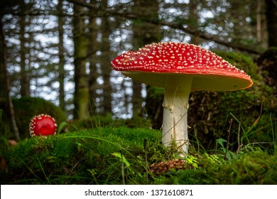 Red fly mushroom on green background.toadstool,macro,natural,spotted,beautiful,fly,closeup,green,grass,dangerous,toxic,fungi,season,poisonous,red,forest,fungus,autumn,nature,mushroom