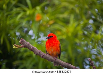 Red Fody Bird or tropical le fody rouge madagascar on La Reunion Island on a branch with green blurry background