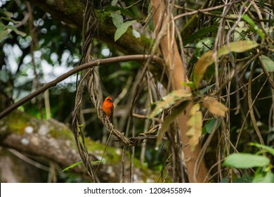 Red fody on the tropical islands of the Seychelles
