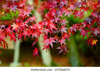 Red foliage in Japan