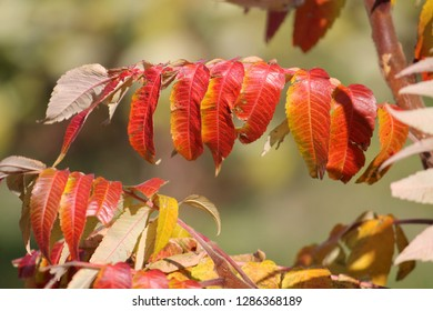 Red foliage of Staghorn sumac or Rhus typhina