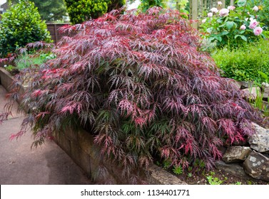 Red foliage of the weeping Laceleaf Japanese Maple tree (Acer palmatum) in garden