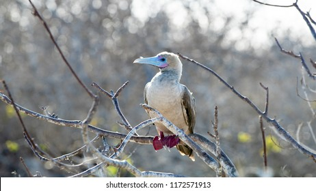 Red Footed Booby Perched in Tree on Genovesa Island in the Galapagos Islands, Ecuador