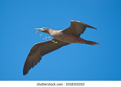 A red footed booby (sula sula) in flight with nest material in beak. Galapagos islands, June 2017