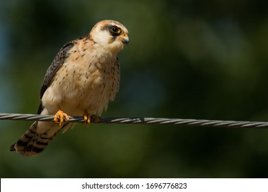 A red footed falcon (Falco vespertinus) in a dry field, during the migration