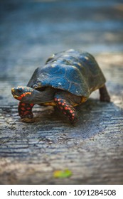 Red Footed Tortoise on the move