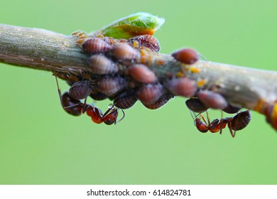 Red forest ants Formica rufa bypass the herd aphids Aphidoidea on the branch of a tree