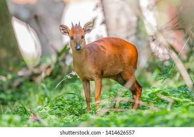 The red forest duiker (Cephalophus natalensis), Natal duiker or Natal red duiker, is a small antelope found in south and south Africa.