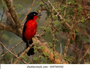 Red form of african bird Black-headed Gonolek, Laniarius erythrogaster, perched on acacia branch. Close-up, ground level photo. Uganda, Queen Elizabeth park.