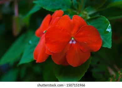 Red four cornered flower with green leaves