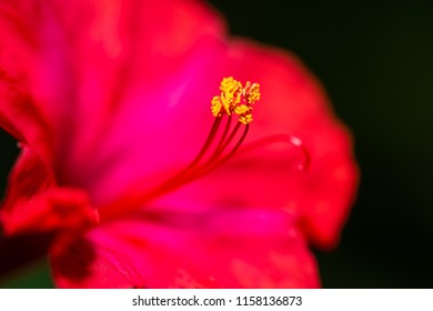 Red four o'clock flower (Mirabilis Jalapa) macro shot