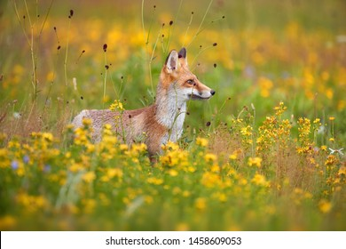 Red Fox among blue and yellow blossoms. Close up, lovely Red Fox cub, Vulpes vulpes at european flowering  highland meadow. Low angle photo. Spring nature of Czech republic.