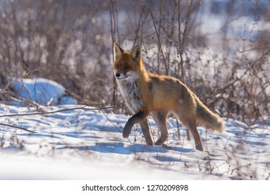 Red fox in backlight, walking on meadow