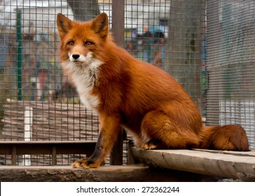 Red Fox Red Fox belongs to the Dog family. She has sharp ears and an elongated muzzle. And yet this beast extraordinarily beautiful long-haired fur and a long bushy tail