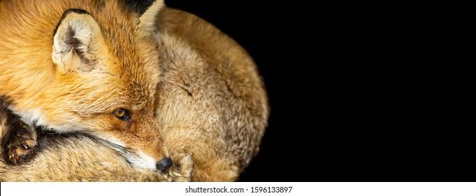 Fox Black Background Images Stock Photos Vectors Shutterstock