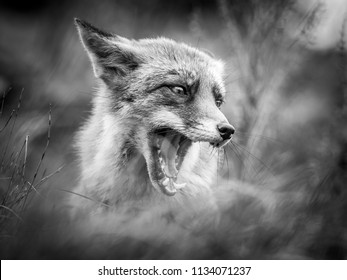 Red fox in black and white
