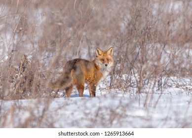 Red fox in a bright winter day