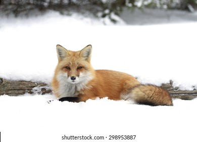 Red fox by a log