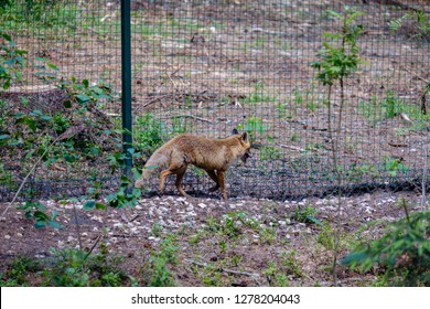 red fox in captivity behing bars in nature park