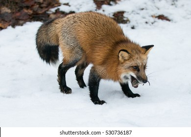 red fox catches field mouse