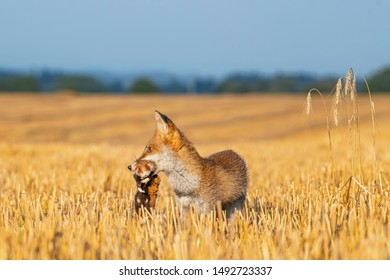 Red fox caught a hamster and goes with him in the mouth in the field of chopped wheat in the Czech republic