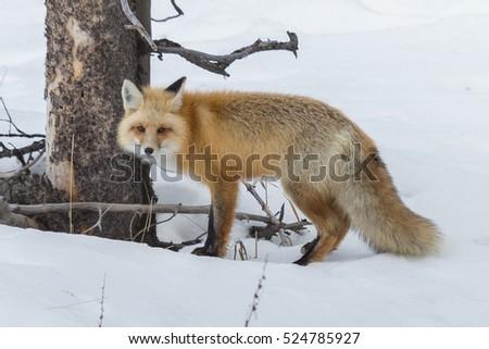 red fox michelle