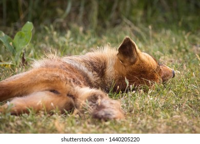 Red fox close up on a summer evening