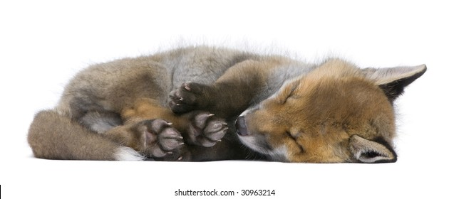 Red fox cub (6 Weeks old)- Vulpes vulpes in front of a white background