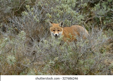 Red fox cub comes out of the bushes