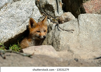 A red fox cub coming out of its den