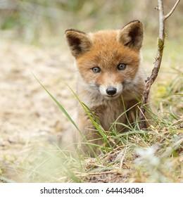 Red fox cub curios looking towards the camera
